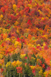 Brilliant Fall Foliage on Side of Mount Saunders, White Mountain National Forest, Harts Location, NH