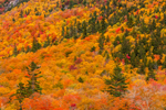 Colorful Foiage on Mount Webster, Crawford Notch State Park, White Mountains Region, Harts Location, NH