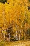 Colorful Fall Foliage of White Birch Trees, White Mountains Region, Twin Mountain, Carroll, NH
