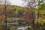 Colorful Fall Wetlands near North Spectacle Pond, South Kent, CT