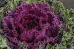 Colorful Ornamental Kale at Daisi Hill Farm, Taconic Mountains Region, Village of Millerton, North East, NY