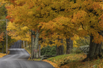 Old Sugar Maple Trees along Country Road in Fall at Red Apple Farm, Phillipston, MA