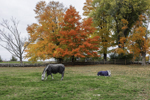 Horses in Fall at Green Hill Stables, Berlin, MA