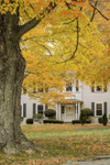 Old Sugar Maples in Fall near Colonial-style Home, Berlin, MA