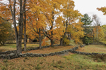 Sugar Maple Trees and Stone Walls in Fall, Berlin, MA