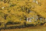 Sugar Maple Trees and Stone Walls in Fall, Shrewsbury, MA