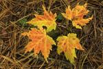 Red Maple Seedling in Fall at Wachusett Reservoir, Boylston, MA