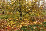 Lingering Apples on Old Apple Tree at Lapsley Orchard, Pomfret Center, Pomfret, CT