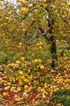 Lingering Apples on Old Apple Tree at Lapsley Orchard, Pomfret Center, Pomfret, CT
