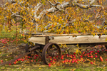 Old Wagon and Apple Tree at Lapsley Orchard, Pomfret Center, Pomfret, CT