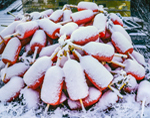 Snow-covered Lobster Buoys, Corea, ME