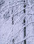Snow-laden Branches, Royalston, MA