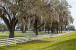 Live Oak Trees Draped in Spanish Moss with White Fence on Farm, Chiefland, FL