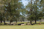Cattle Resting under Live Oak Trees in Pasture on Rural Farm, Chiefland, FL