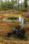 Small Pool and Wetlands in Pine Forest, Big Bend Wildlife Management Area, Tide Swamp Unit, Perry, FL