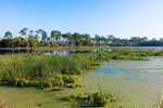 New Spring Vegetation in Headquarters Pond, St. Marks National Wildlife Refuge, Gulf Coast, Florida Panhandle, Wakulla County, St. Marks, FL
