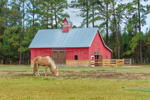 Palomino Horse in Pasture and Red Barn with Cupola near Eagle Neck, South Newport, GA