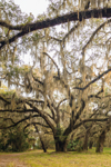 Live Oaks Draped with Spanish Moss at Abandoned Dairy Farm, Jekyll Island, GA
