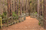 Path with Old Wooden Fence through Pine Forest at Chesser Island Homestead, Okefenokee  National Wildlife Refuge, near Folkston, GA