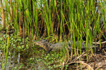 American Alligator in Cattails along Laurel Hill Wildlife Drive, Savannah National Wildlife Refuge, Hardeeville, SC