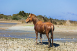 Wild Horse on Shackleford Banks, Cape Lookout National Seashore, Outer Banks, off Harkers Island, NC