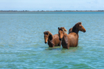 Wild Horses in Bank Sound at Shackleford Banks, Cape Lookout National Seashore, Outer Banks, off Harkers Island, NC