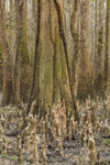 Bald Cypress Trees and Cypress