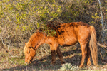 Late Evening Light Shines on Wild Horse (Stallion) Grazing along Forest Edge at Assateague Island National Seashore, Assateague Island, MD