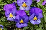 Close Up of Purple Pansies, Martha's Vineyard, Oak Bluffs, MA