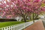 Flowering Cherry Trees in Full Bloom along Water Street in Spring, Martha's Vineyard, Edgartown, MA