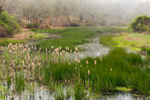 Cattails in Wetlands in Spring near Mill Brook, Martha's Vineyard, West Tisbury, MA