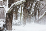 Old Sugar Maple Trees and Stone Wall after Snowstorm, Orange, MA