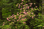 June Pink in Forests of Birch Hill Recreation and Wildlife Management Area, Winchendon, MA