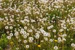 Field of Dandelion Seed Heads, Pioneer Valley, South Deerfield, MA