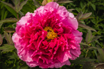 Close Up View of Tree Peony on Bridge of Flowers, Pioneer Valley, Shelburne Falls, MA