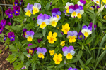 Colorful Yellow and Purple Pansies on Bridge of Flowers, Pioneer Valley, Shelburne Falls, MA