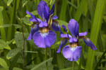 Close Up of Siberian Iris in Country Garden, near Bearsden Conservation Area, Athol, MA