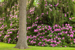 Rhododendrons and Spruce Tree in Spring, Mystic, CT