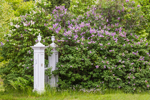 Lilacs and Fencepost in Spring on Royalston Common, Royalston, MA