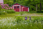 Old Red Barn with Daisies, Irises, and Rhododendrons, Fitzwilliam, NH