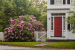 Rhododendrons and White Fence at Homestead on Royalston Common, Royalston, MA