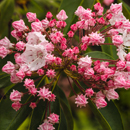 Close Up of Mountain Laurel Blossoms and Buds, Red Apple Farm, Phillipston, MA