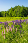 Meadow of Lupines in Full Bloom, Sebec, ME