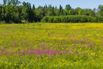 Wildflower Meadow of Buttercups and Ragged Robins, Corinna, ME