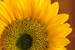Close Up of Sunflower, Athol, MA