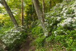 Trail through Mountain Laurels in Bloom along Millers River, near Bearsden Conservation Area, Athol, MA