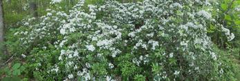 Mountain Laurel in Full Bloom near Bearsden Conservation Area, Athol, MA