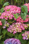 Colorful Hydrangeas in Bloom, Long Island, Village of Montauk, East Hampton, NY