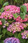 Colorful Hydrangeas in Bloom, Long Island, Village of Montauk, East Hampton, NY