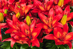 "Close Up of Asiatic Hybrid Lilies ""Matrix"" in Country Garden, Phillipston, MA"